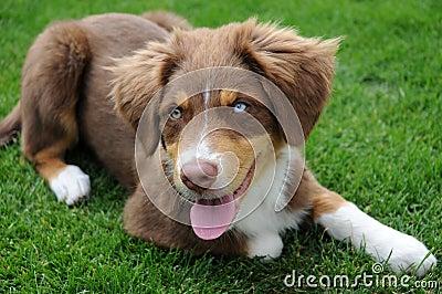 Australian Shepherd Puppy Stock Image - Image: 26067051
