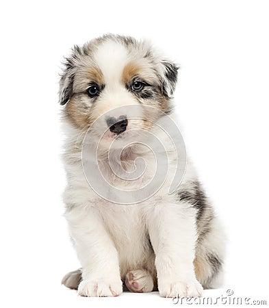 Australian Shepherd Puppy Stock Photography - Image: 27420672
