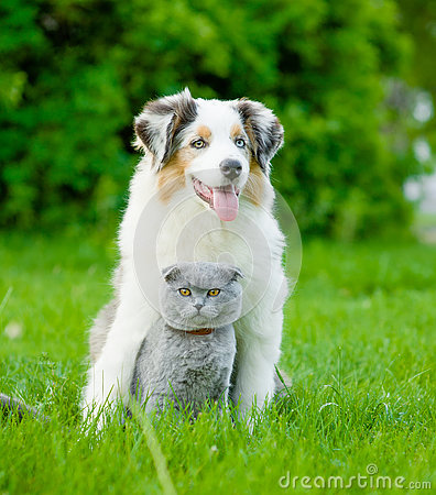 Free Australian Shepherd Puppy And Cat Sitting Together On The Green Royalty Free Stock Images - 73828719