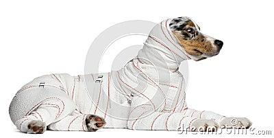 Australian Shepherd puppy in bandages