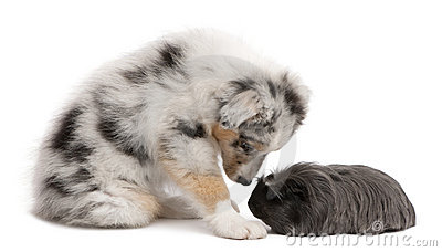 Australian shepherd puppy playing with guinea pig