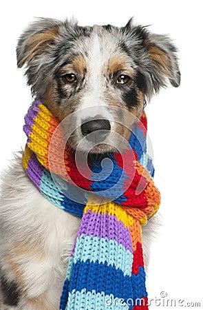 Australian Shepherd puppy wearing a scarf
