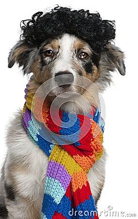 Australian Shepherd puppy wearing a wig