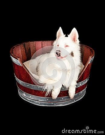 Australian Shepherd Rescue Dog in Barrel Bed