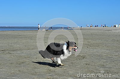 Australian Shepherd running on strand