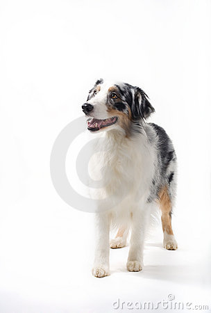 Free Australian Shepherd Standing. Stock Photos - 3929763