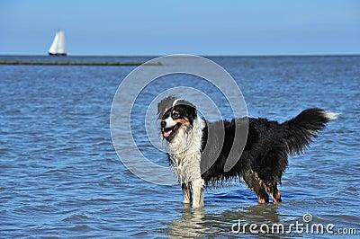 Australian Shepherd standing in water
