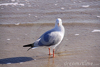 Australian Silver Gull at the Beach