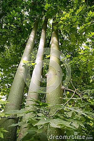Australian tall trees Brachychiton discolor