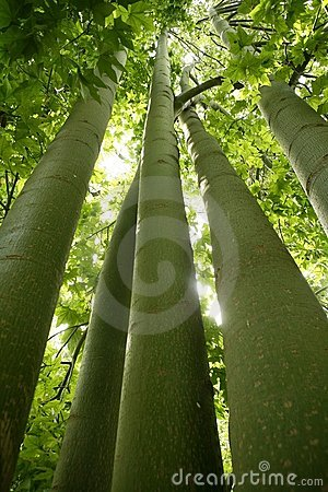 Australian tall trees green nature
