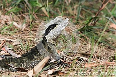 Australian Water Dragon, alert in the bush.
