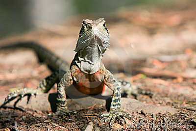 Australian Water Dragon, alert in the bush.