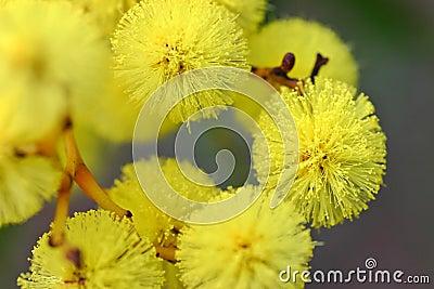 Australian Wattle Flower