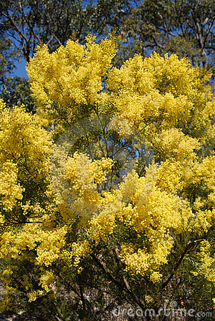 Free Australian Wattle In Spring With Yellow Flowering Bloom Stock Photography - 1698232
