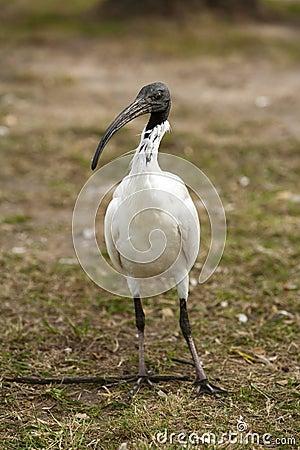 Free Australian White Ibis Royalty Free Stock Photo - 42416465