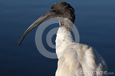 Australian White Ibis Head in Sunlight