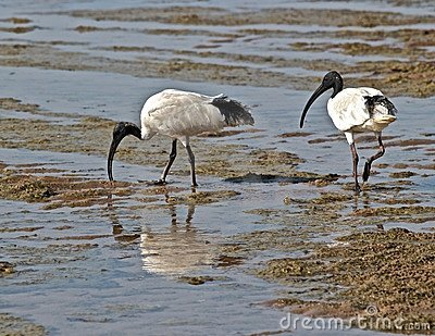 Australian white ibis scavenger for food