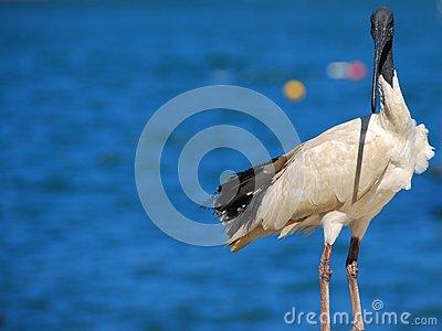 Australian White Ibis Sea Bird Royalty Free Stock Image - Image: 13807436
