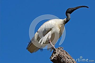 Australian White Ibis on tree