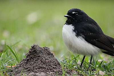 Australian Willy Wagtail next to an anthill