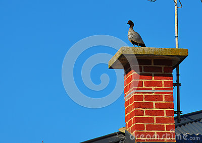 Australian Wood Ducks sitting on brick chimney.