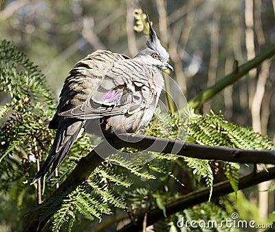 Australian Wood pigeon