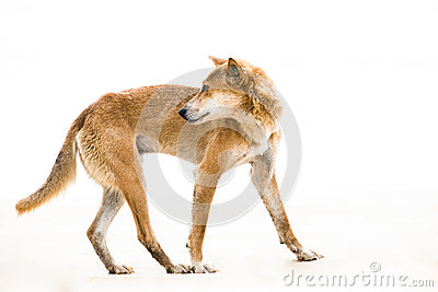 Australien dingo - wild dog - critically endangere