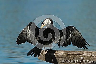 Australijski Pied kormoran z rozciągniętymi skrzydłami