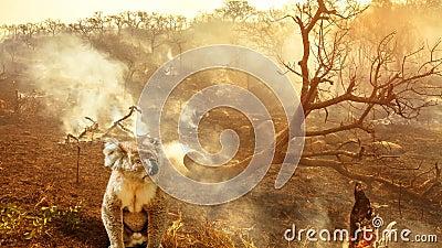 Australische koala in het wild levende dieren in de brandbioscoop stock footage