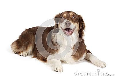 Australischer Schäferhund-Hund