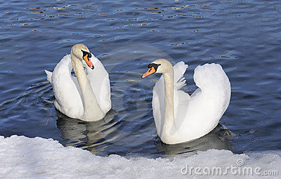 Austria. Zell-Am-See. Couple of tender swans