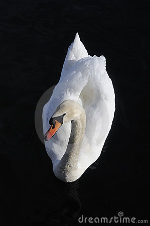 Austria. Zell-Am-See. Proud white swan on black