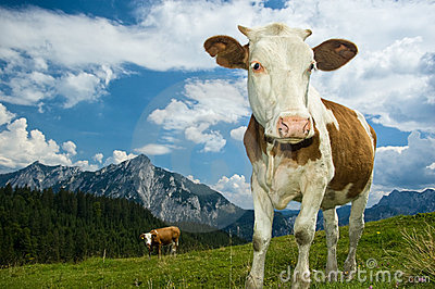 Austrian Cow in the Alps