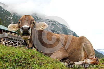 An Austrian cow relaxing on a mountain