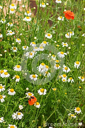 Free Authentic Floral Background Of White Daisies, Red Poppies, Beaut Stock Images - 102093244