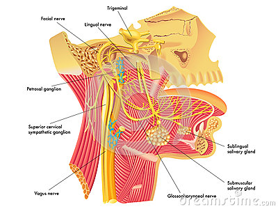 Autonomic nerves in head