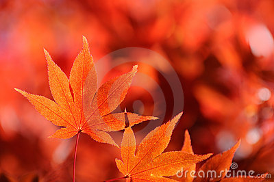 Autum Leaf of Japanese Maple