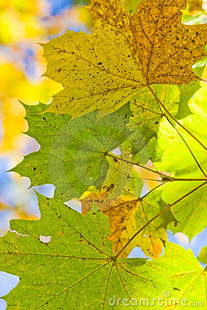 Free Autum Leafes Royalty Free Stock Photography - 14835907