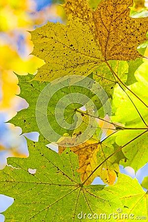 Autum leafes