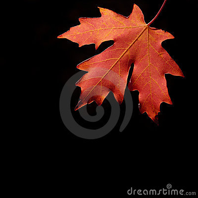 Autum Maple Leaf