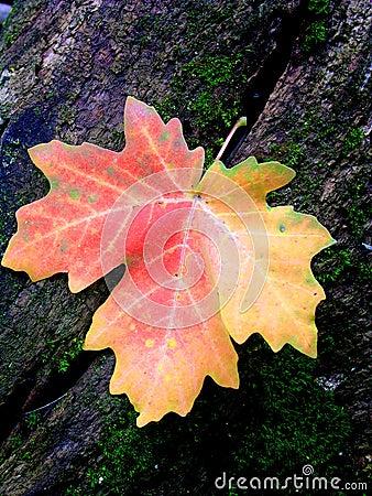 Autum Maple Leaf