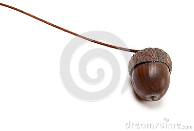 Autumn acorn on white background