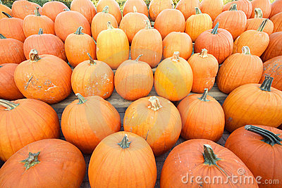 Autumn agriculture.Rows of pumpkins