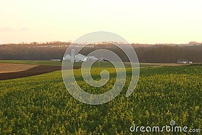 Autumn alfalfa field