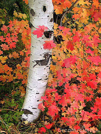 Autumn Aspen Tree