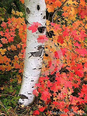 Autumn Aspen Tree