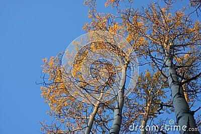 Autumn Aspen Trees in Early Morning Light