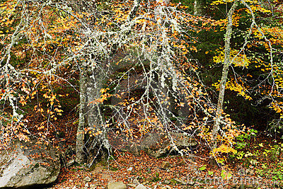 Autumn beech forest in Europe