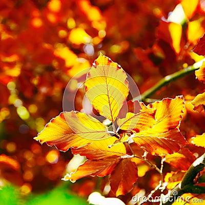 Autumn beech tree leaves