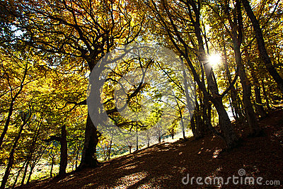 Autumn beech woods with yellow trees foliage in mountain forest